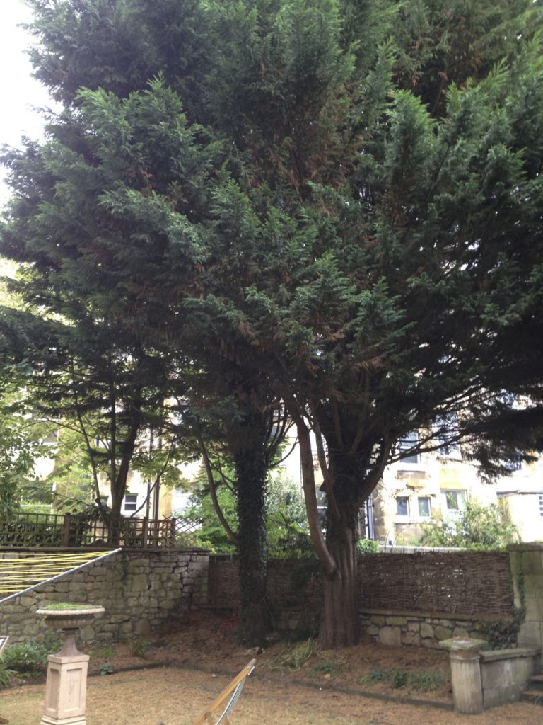 PultneyRd conifers (before)